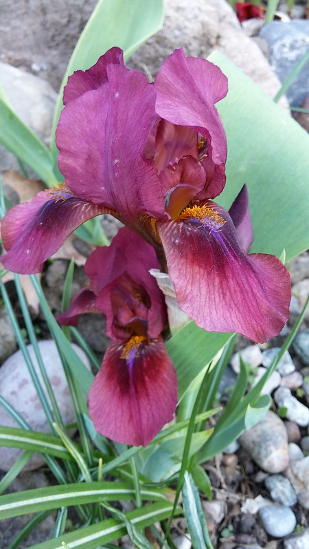 GUIDE D'IDENTIFICATION : les IRIS  Lady_i10