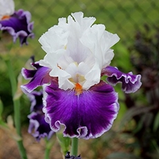 GUIDE D'IDENTIFICATION : les IRIS  Merry_10