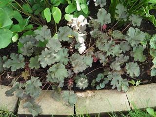 Guide d'identification: Heuchères, tiarelles & heucherellas Purple10