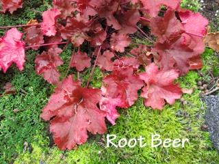 Guide d'identification: Heuchères, tiarelles & heucherellas Root_b10