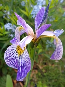 GUIDE D'IDENTIFICATION : les IRIS  Versic10