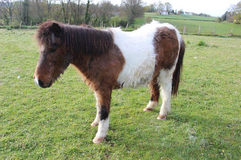 PIPO - Poney OI typé Shetland né en 1990 - adopté en septembre 2009 par Justine et Janine Img_5530