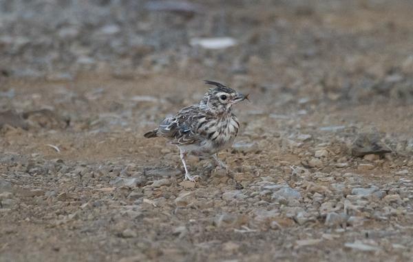 Fórum Aves - Birdwatching em Portugal - Portal _rui3210