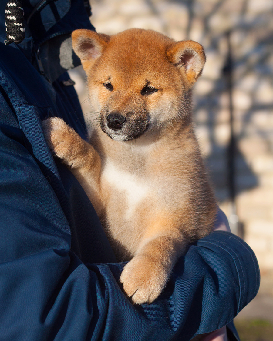 Питомник DELEN SOLAR - Рыжие щенки от пары KATSURO NAKAMA и TERRA ASTREYA DAISYHIME - Страница 2 113