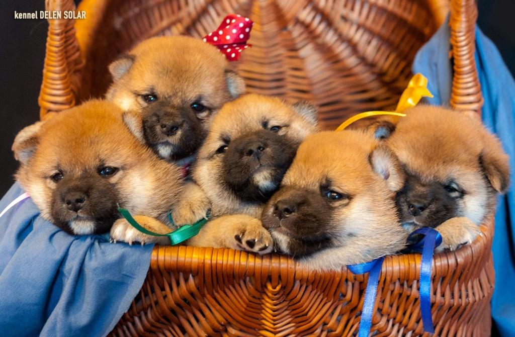 Питомник DELEN SOLAR - Рыжие щенки от пары KATSURO NAKAMA и TERRA ASTREYA DAISYHIME 11zug010