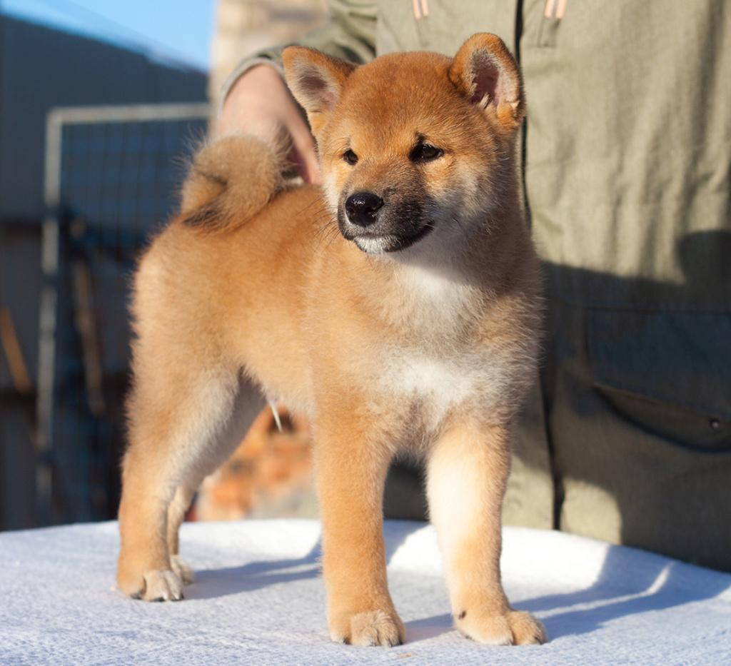 Питомник DELEN SOLAR - Рыжие щенки от пары KATSURO NAKAMA и TERRA ASTREYA DAISYHIME - Страница 2 212