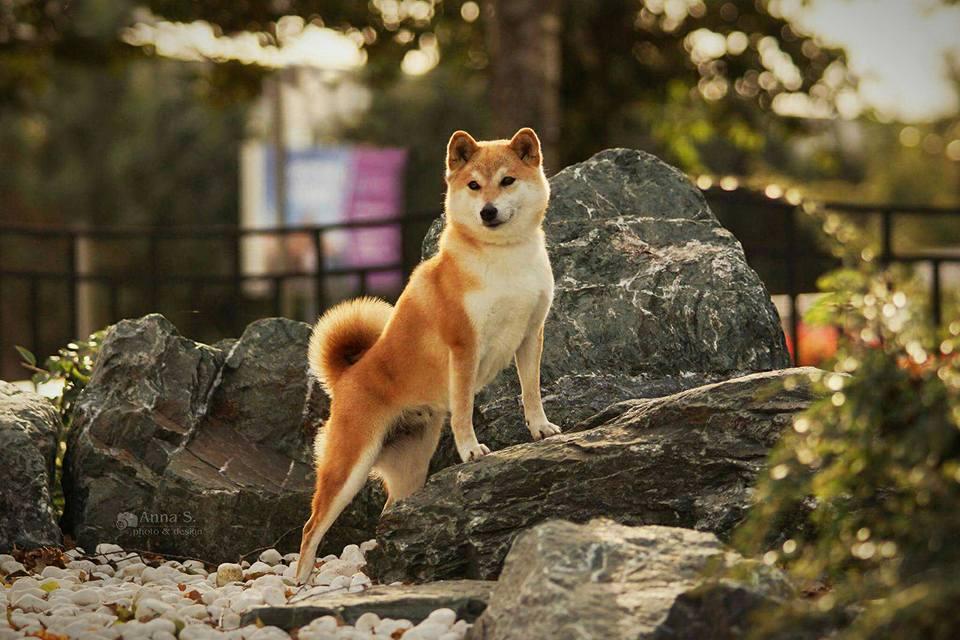 Питомник DELEN SOLAR - Рыжие щенки от пары KATSURO NAKAMA и TERRA ASTREYA DAISYHIME 22089610