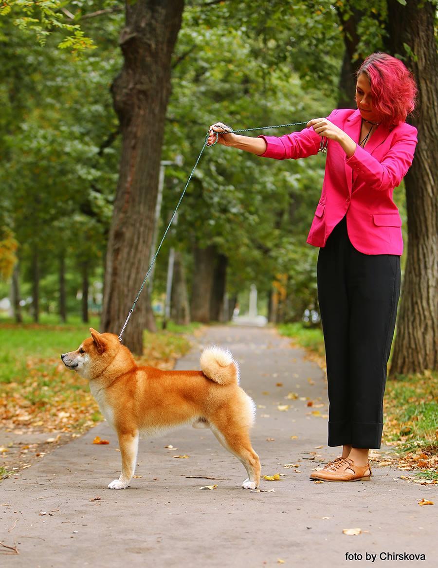 Питомник DELEN SOLAR - Рыжие щенки от пары KATSURO NAKAMA и TERRA ASTREYA DAISYHIME 22792510