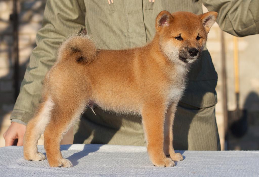 Питомник DELEN SOLAR - Рыжие щенки от пары KATSURO NAKAMA и TERRA ASTREYA DAISYHIME - Страница 2 411
