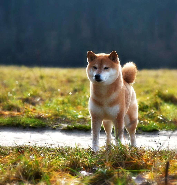 Питомник DELEN SOLAR - Рыжие щенки от пары KATSURO NAKAMA и TERRA ASTREYA DAISYHIME 75485110