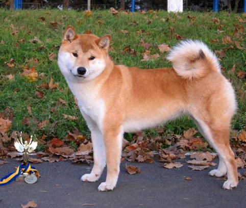 Питомник DELEN SOLAR - Рыжие щенки от пары KATSURO NAKAMA и TERRA ASTREYA DAISYHIME Aa110