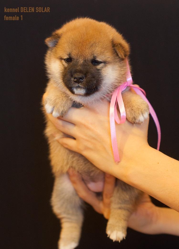 Питомник DELEN SOLAR - Рыжие щенки от пары KATSURO NAKAMA и TERRA ASTREYA DAISYHIME Askby810