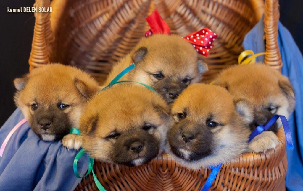 Питомник DELEN SOLAR - Рыжие щенки от пары KATSURO NAKAMA и TERRA ASTREYA DAISYHIME Dj4eiv10