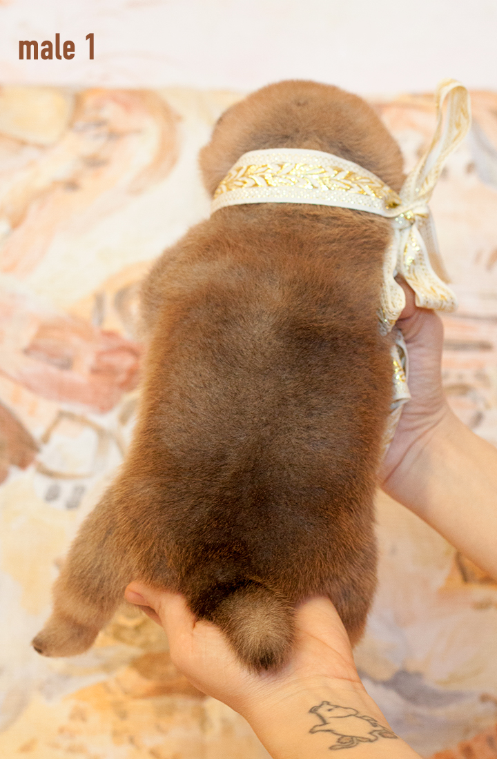 Питомник DELEN SOLAR - Рыжие щенки от пары KATSURO NAKAMA и TERRA ASTREYA DAISYHIME Img_0213