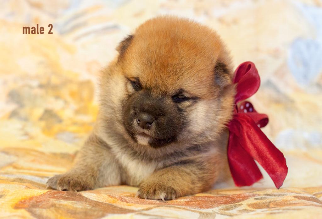 Питомник DELEN SOLAR - Рыжие щенки от пары KATSURO NAKAMA и TERRA ASTREYA DAISYHIME Img_0215