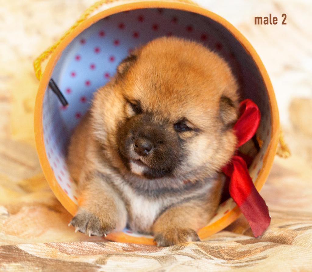 Питомник DELEN SOLAR - Рыжие щенки от пары KATSURO NAKAMA и TERRA ASTREYA DAISYHIME Img_0216