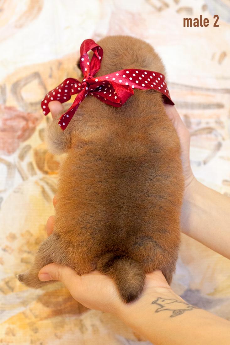 Питомник DELEN SOLAR - Рыжие щенки от пары KATSURO NAKAMA и TERRA ASTREYA DAISYHIME Img_0217