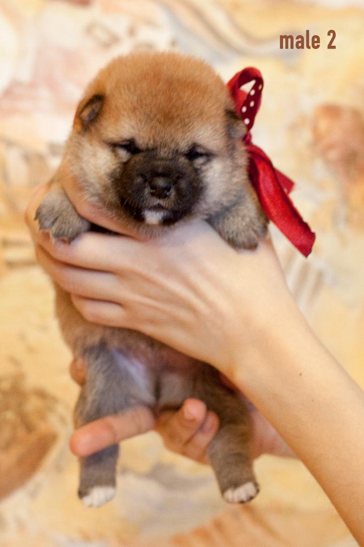 Питомник DELEN SOLAR - Рыжие щенки от пары KATSURO NAKAMA и TERRA ASTREYA DAISYHIME Img_0218