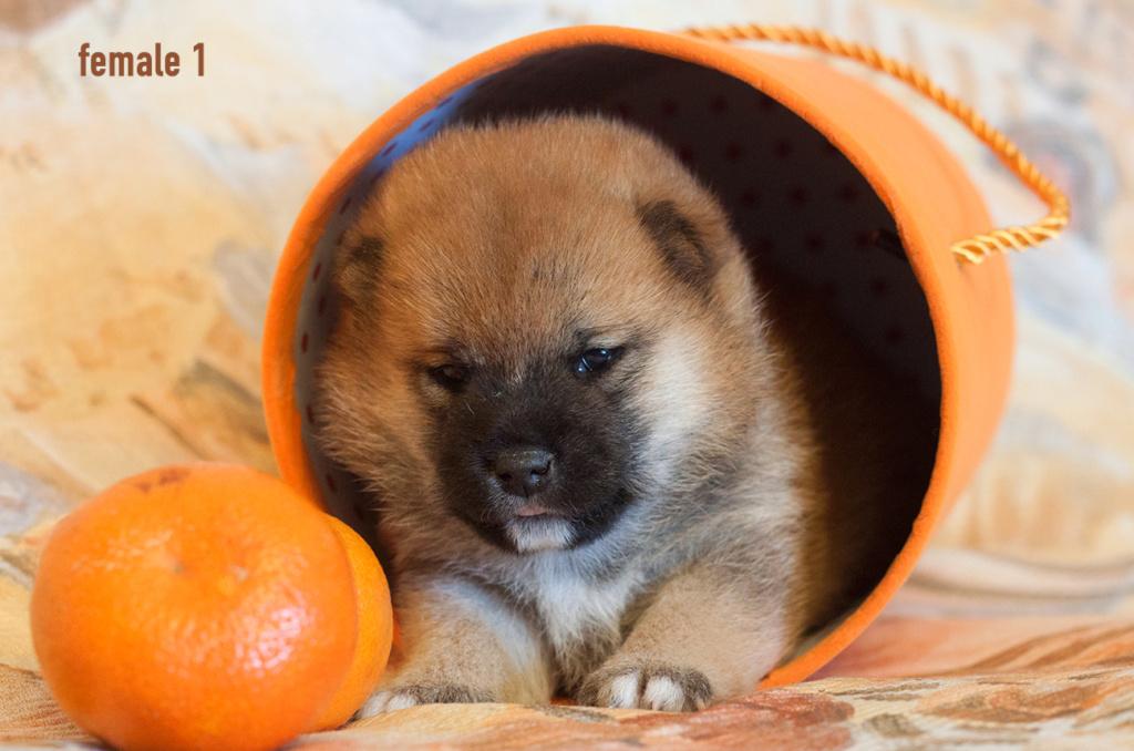 Питомник DELEN SOLAR - Рыжие щенки от пары KATSURO NAKAMA и TERRA ASTREYA DAISYHIME Img_0316