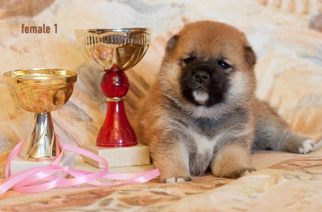 Питомник DELEN SOLAR - Рыжие щенки от пары KATSURO NAKAMA и TERRA ASTREYA DAISYHIME Img_0319