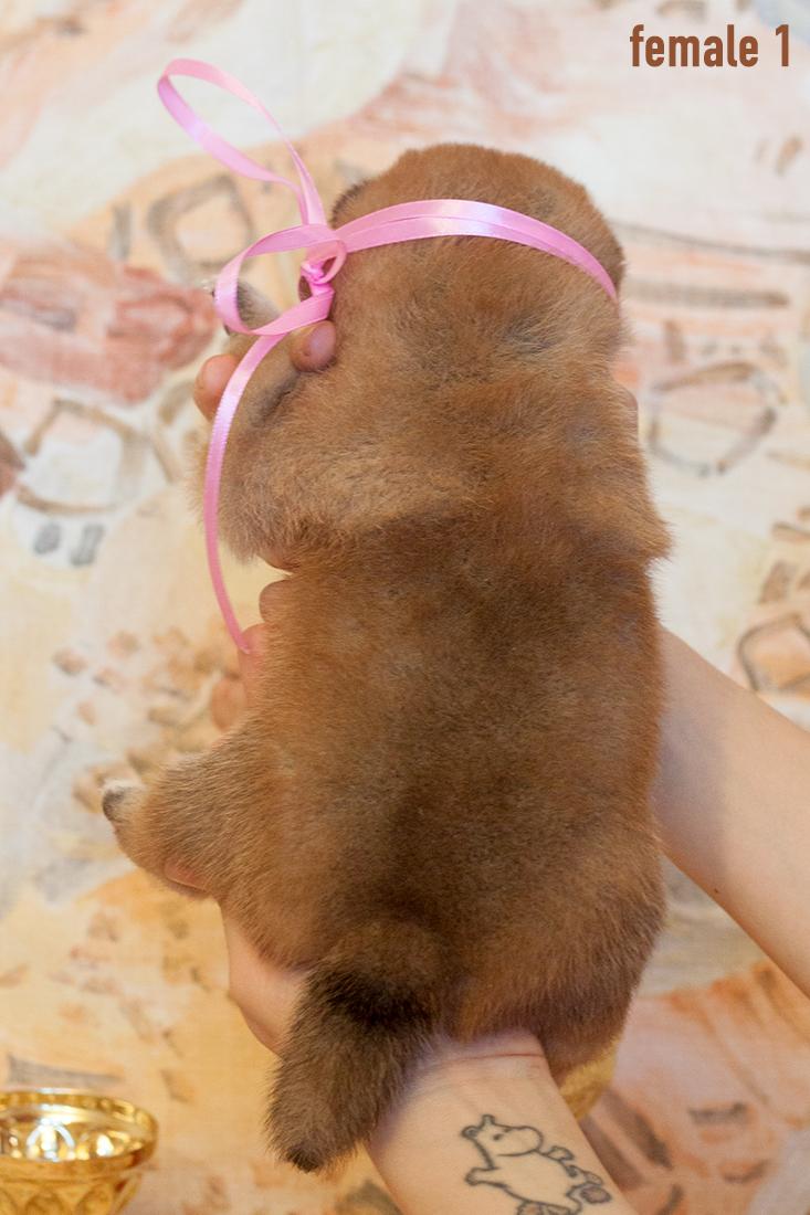 Питомник DELEN SOLAR - Рыжие щенки от пары KATSURO NAKAMA и TERRA ASTREYA DAISYHIME Img_0320