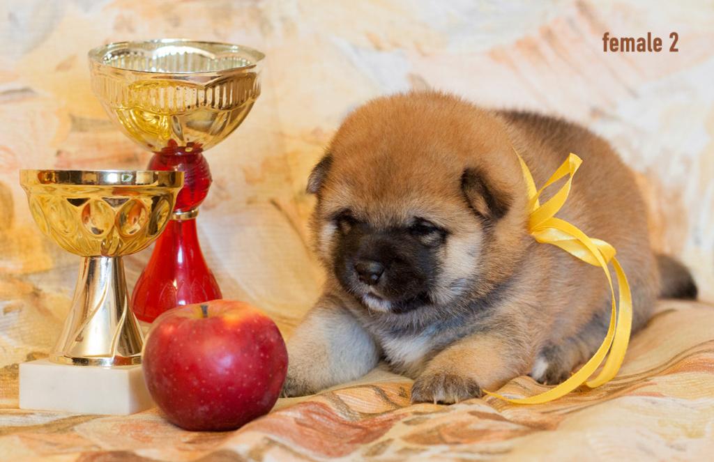 Питомник DELEN SOLAR - Рыжие щенки от пары KATSURO NAKAMA и TERRA ASTREYA DAISYHIME Img_0410