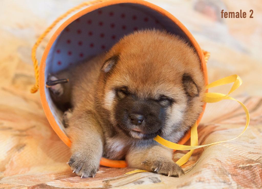 Питомник DELEN SOLAR - Рыжие щенки от пары KATSURO NAKAMA и TERRA ASTREYA DAISYHIME Img_0412