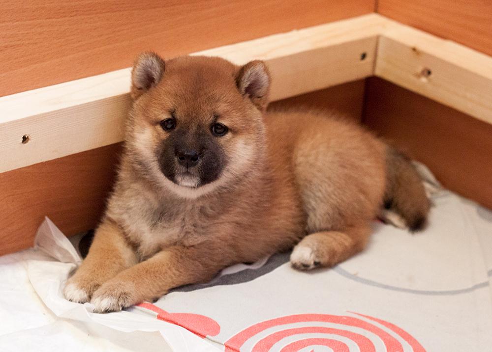 Питомник DELEN SOLAR - Рыжие щенки от пары KATSURO NAKAMA и TERRA ASTREYA DAISYHIME Img_0811