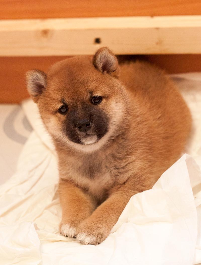 Питомник DELEN SOLAR - Рыжие щенки от пары KATSURO NAKAMA и TERRA ASTREYA DAISYHIME Img_0812