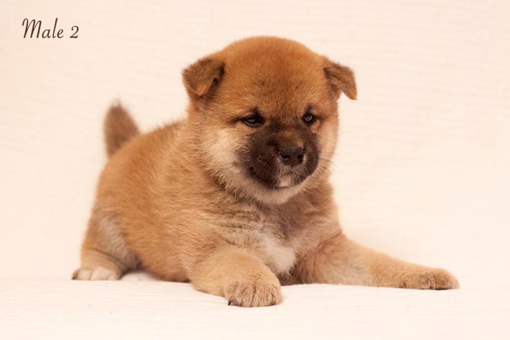 Питомник DELEN SOLAR - Рыжие щенки от пары KATSURO NAKAMA и TERRA ASTREYA DAISYHIME Img_0912