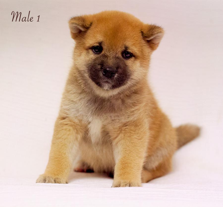 Питомник DELEN SOLAR - Рыжие щенки от пары KATSURO NAKAMA и TERRA ASTREYA DAISYHIME Img_0913