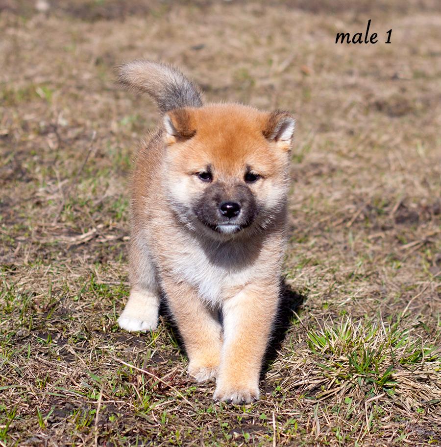 Питомник DELEN SOLAR - Рыжие щенки от пары KATSURO NAKAMA и TERRA ASTREYA DAISYHIME Img_1010