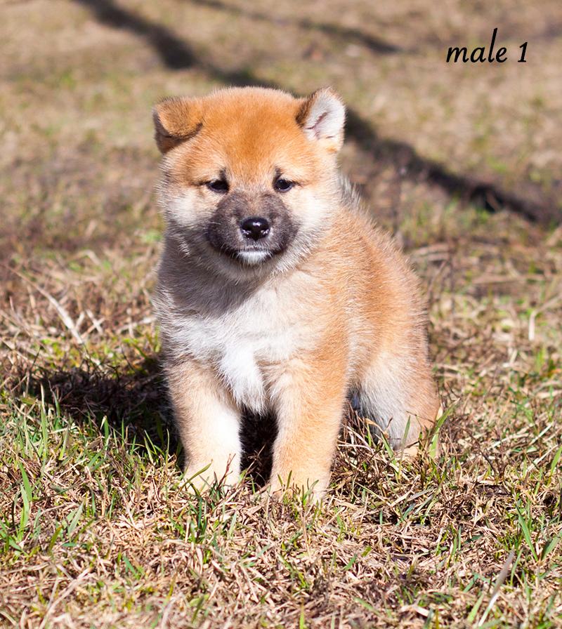 Питомник DELEN SOLAR - Рыжие щенки от пары KATSURO NAKAMA и TERRA ASTREYA DAISYHIME Img_1011