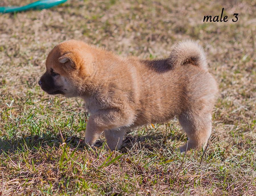 Питомник DELEN SOLAR - Рыжие щенки от пары KATSURO NAKAMA и TERRA ASTREYA DAISYHIME Img_1015