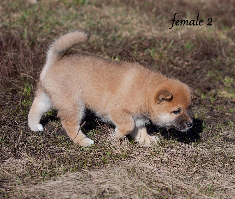 Питомник DELEN SOLAR - Рыжие щенки от пары KATSURO NAKAMA и TERRA ASTREYA DAISYHIME Img_1017