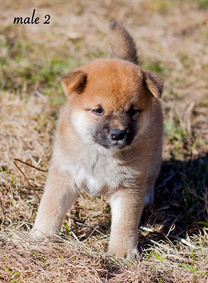 Питомник DELEN SOLAR - Рыжие щенки от пары KATSURO NAKAMA и TERRA ASTREYA DAISYHIME Img_1111