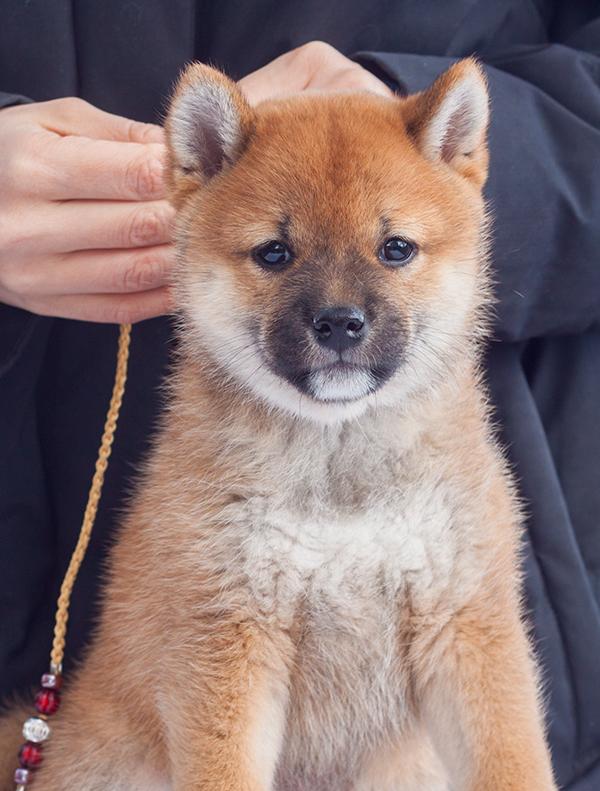 Питомник DELEN SOLAR - Рыжие щенки от пары KATSURO NAKAMA и TERRA ASTREYA DAISYHIME - Страница 2 Img_1115