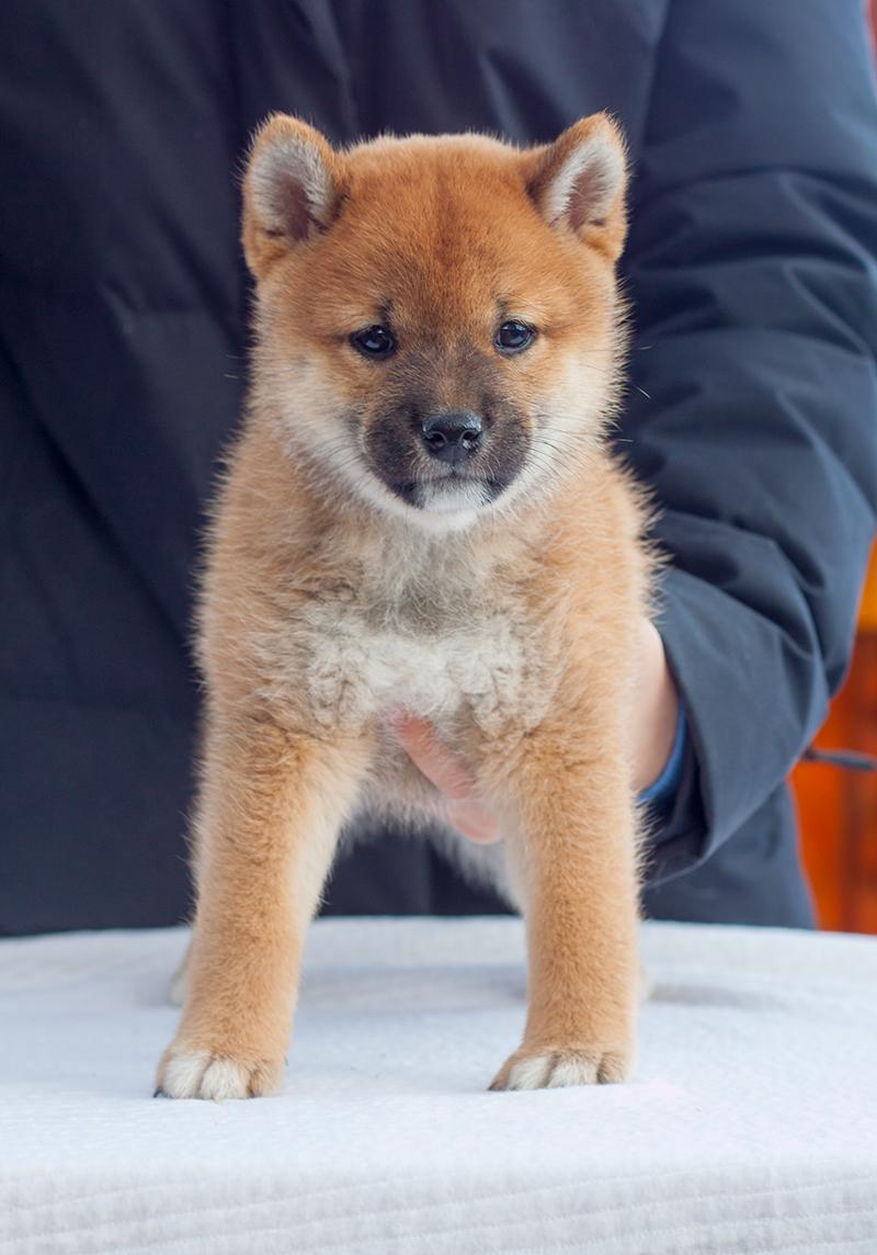Питомник DELEN SOLAR - Рыжие щенки от пары KATSURO NAKAMA и TERRA ASTREYA DAISYHIME - Страница 2 Img_1116