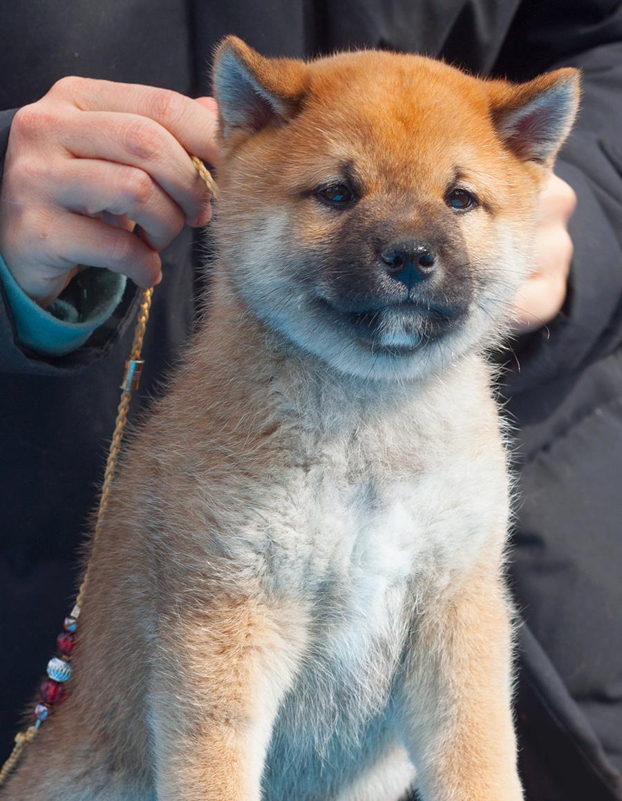 Питомник DELEN SOLAR - Рыжие щенки от пары KATSURO NAKAMA и TERRA ASTREYA DAISYHIME - Страница 2 Img_1312