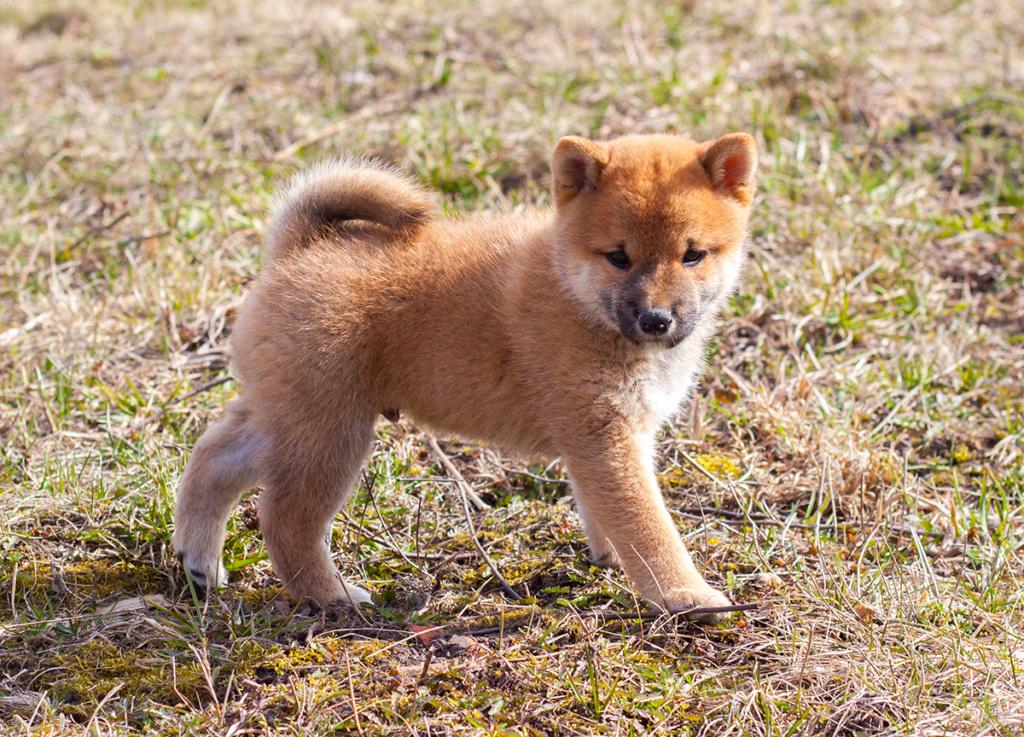Питомник DELEN SOLAR - Рыжие щенки от пары KATSURO NAKAMA и TERRA ASTREYA DAISYHIME - Страница 2 Img_1314