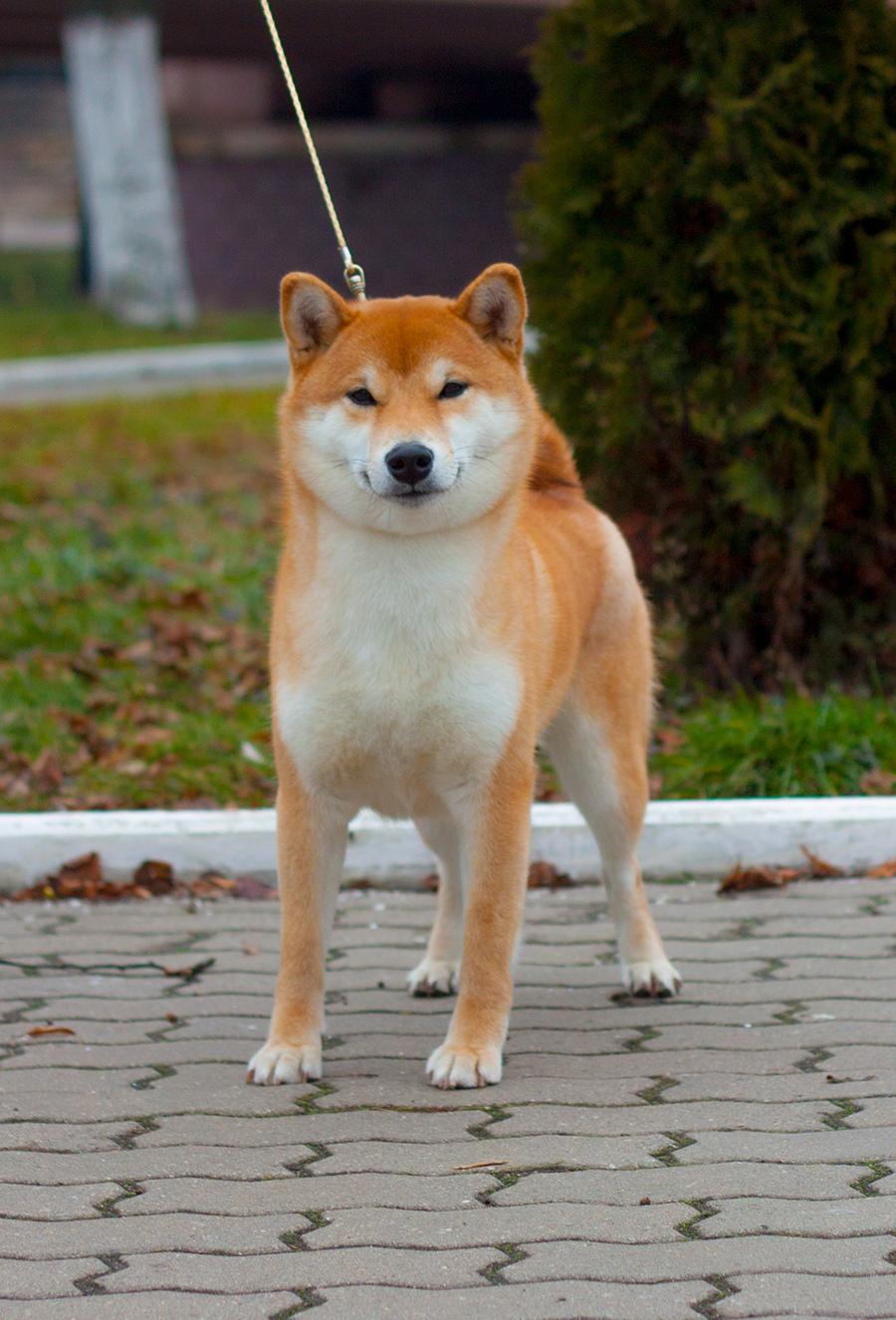 Питомник DELEN SOLAR - Рыжие щенки от пары KATSURO NAKAMA и TERRA ASTREYA DAISYHIME Img_3810