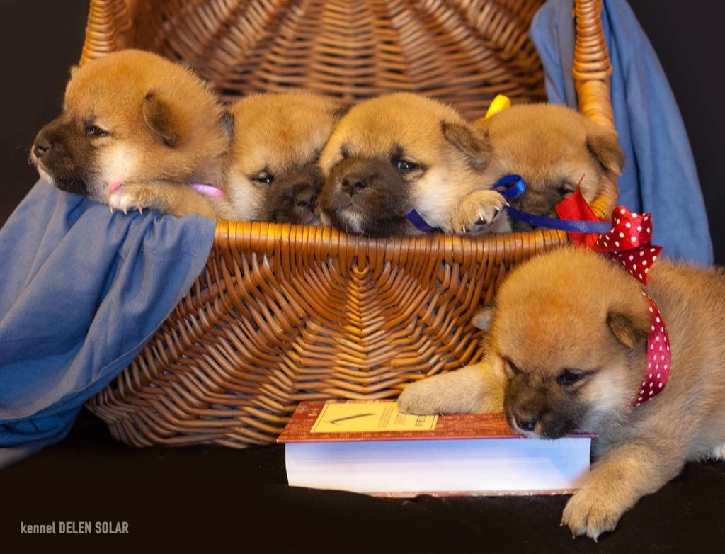 Питомник DELEN SOLAR - Рыжие щенки от пары KATSURO NAKAMA и TERRA ASTREYA DAISYHIME Rclwc710