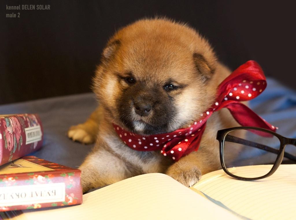 Питомник DELEN SOLAR - Рыжие щенки от пары KATSURO NAKAMA и TERRA ASTREYA DAISYHIME Rkqf2i10