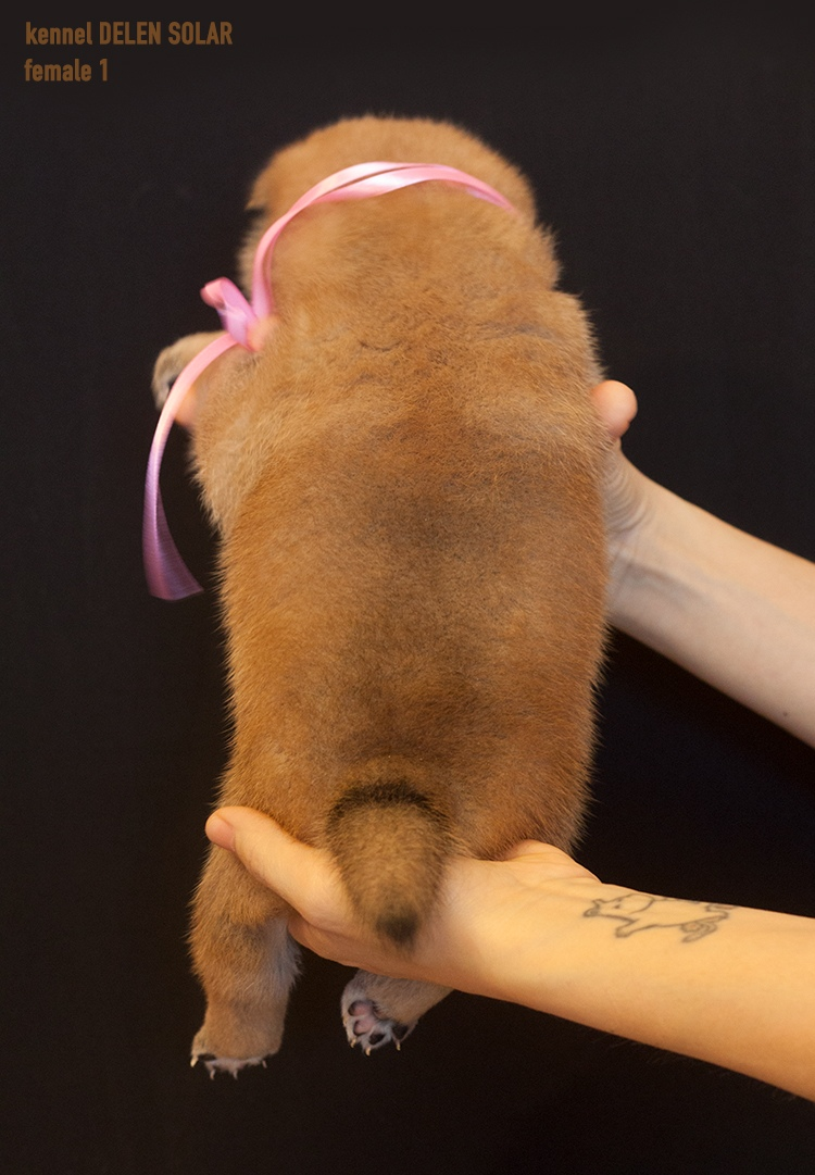 Питомник DELEN SOLAR - Рыжие щенки от пары KATSURO NAKAMA и TERRA ASTREYA DAISYHIME Upndyl10