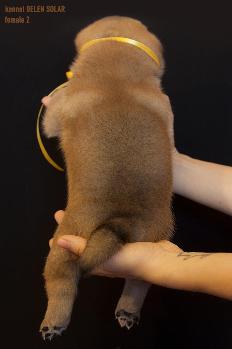 Питомник DELEN SOLAR - Рыжие щенки от пары KATSURO NAKAMA и TERRA ASTREYA DAISYHIME Wkr9da10
