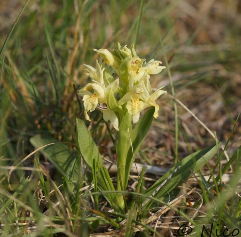 Dactylorhiza Dsc02311