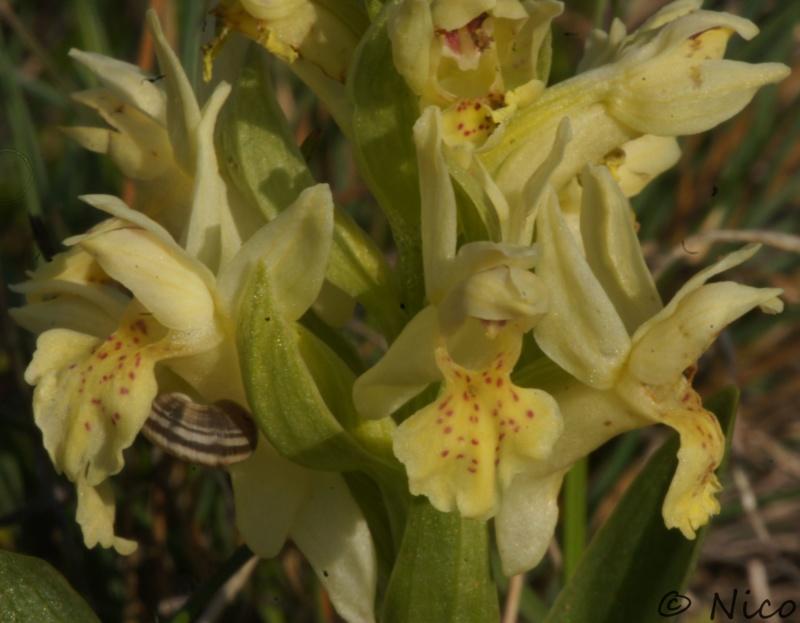Dactylorhiza Dsc02313