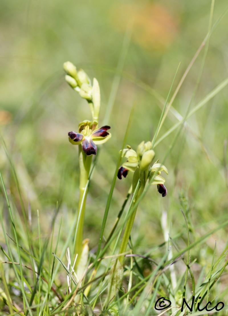 A Ophrys sulcata pélorique Dsc04510