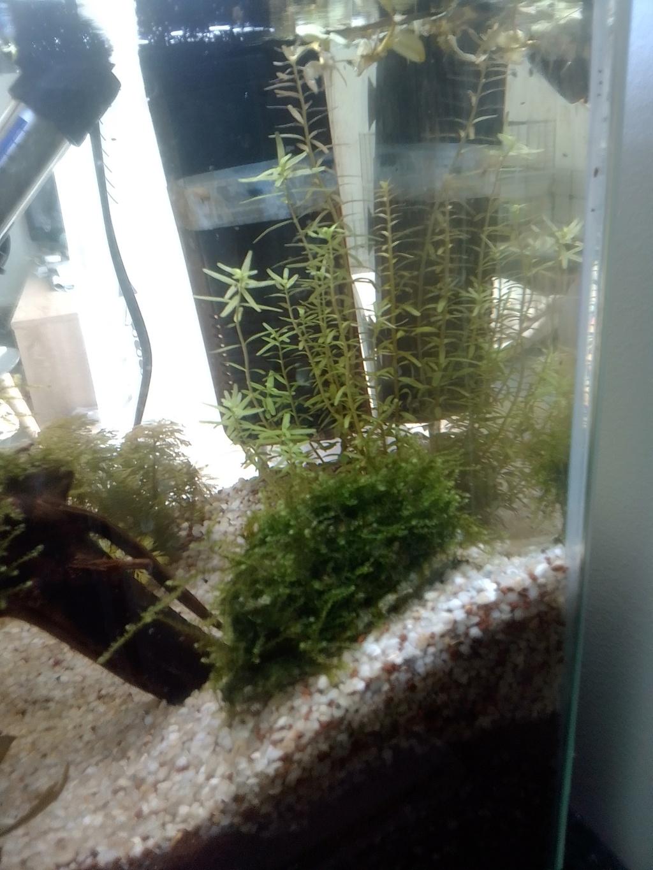 nano aquarium killi cap lopez Img_2195