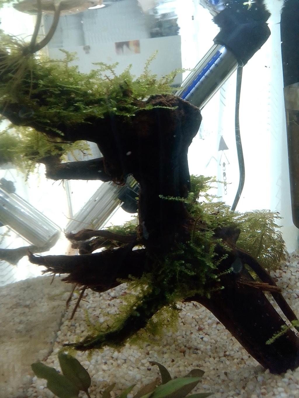 nano aquarium killi cap lopez Img_2196